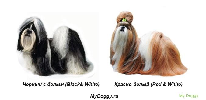 Окрасы Ши Тцу. Черно-белый, красно-белый