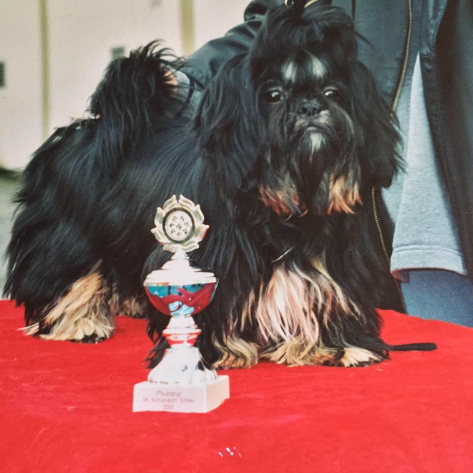 Black and tan Shih Tzu puppy