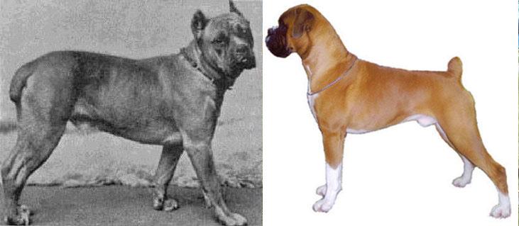 Столетие селекции породистых собак. Пагубное влияние. Боксер