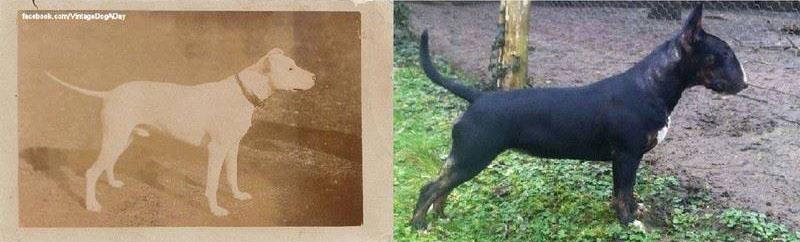 Столетие селекции породистых собак. Пагубное влияние