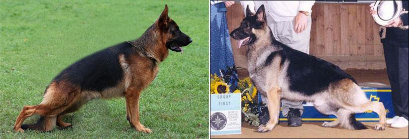 Столетие селекции породистых собак. Пагубное влияние. Немецкая овчарка