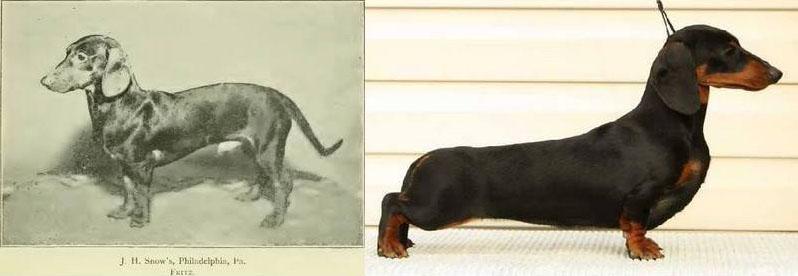 Столетие селекции породистых собак. Пагубное влияние. Такса