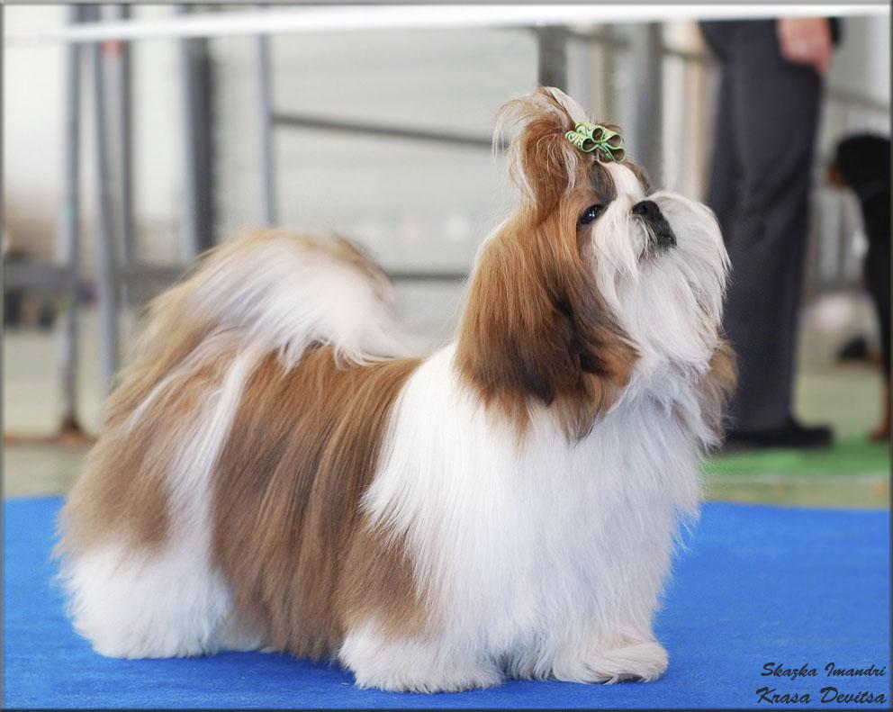 """Выставочный дебют Каси. 19 апреля 2015 года, Москва, национальная выставка собака всех пород """"Брид"""""""