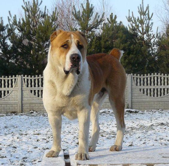 Самые крупные породы собак. Алабай