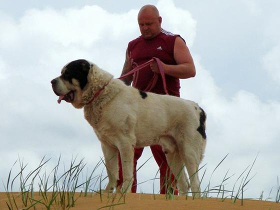 Самая крупная собака России. Алабай Бульдозер