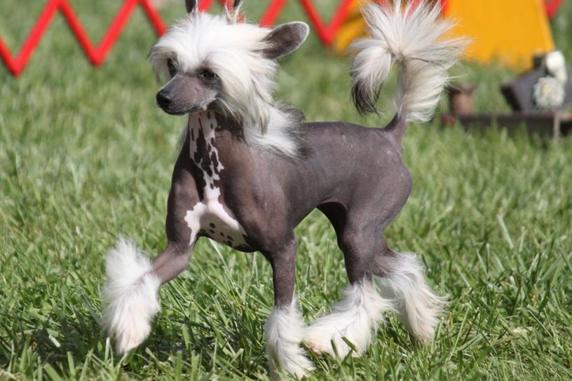 Гипоаллергенные собаки. Китайская хохлатая собака