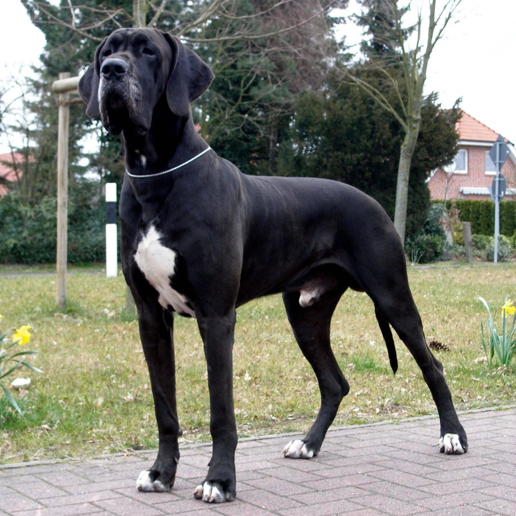 Самые крупные породы собак. Немецкий дог