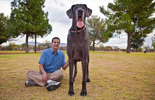 Самая большая собака в мире (2010 год) немецкий дог Джордж