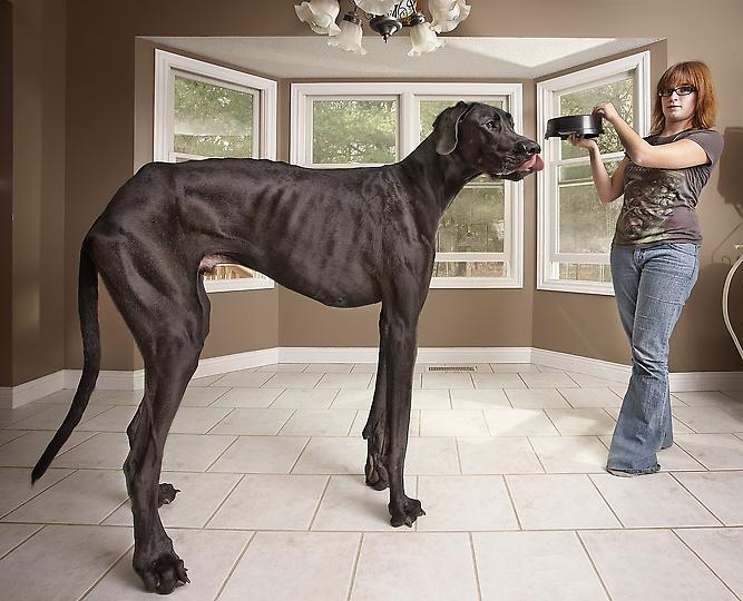 Самая большая собака в мире. Немецкий дог по кличке Зевс