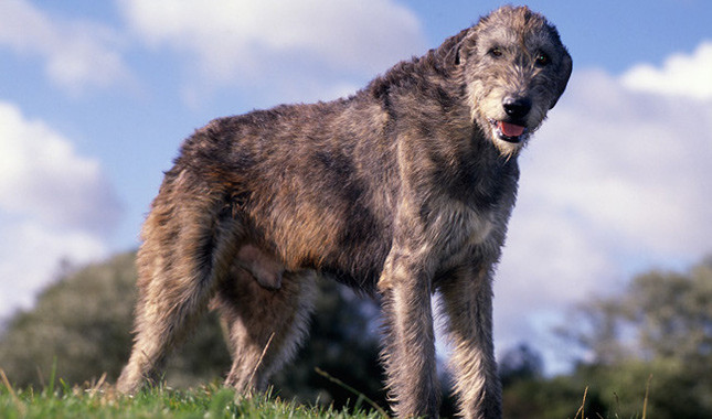 Самые крупные породы собак. Ирландский волкодав