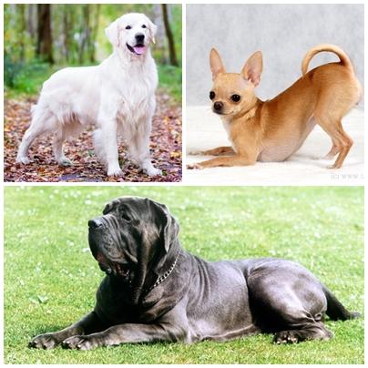 Жизнь собаки до рождения. Три породы - золотистый ретривер, чихуахуа, неаполитанский мастиф.