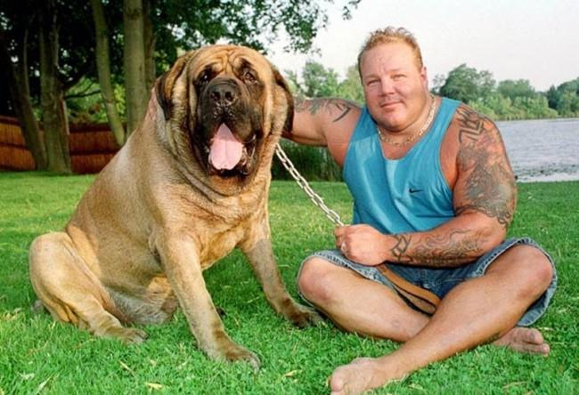 Самые крупные породы собак. Неаполитанский мастиф