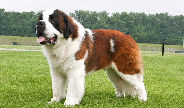 Самые крупные породы собак. Сенбернар