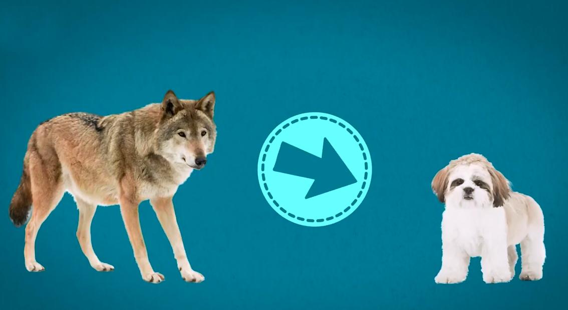Ши Тцу - лучшая порода собак когда-либо
