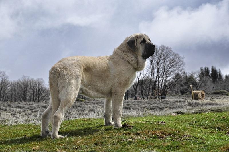 Самые крупные породы собак. Испанский мастиф