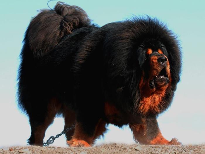 Самые крупные породы собак. Тибетский мастиф