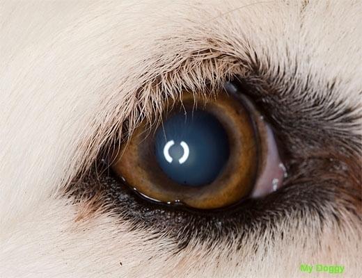 Зрение у собак.