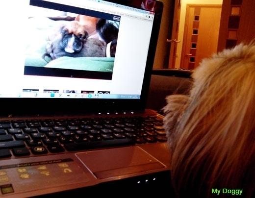 А смотрят ли собаки телевизор? Лаванда смотрит видео