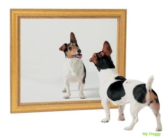 Узнают ли собаки себя в зеркале?