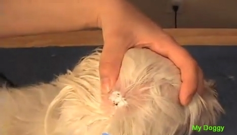 Чистка ушей у Ши Тцу. Удаление волос из ушного канала