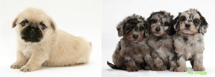 Дизайнерские породы собак