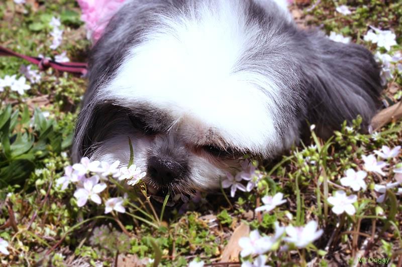 Ши Тцу ест траву