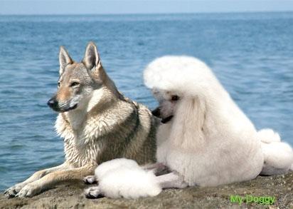 Волки не являются предками собак, свидетельствуют генетики