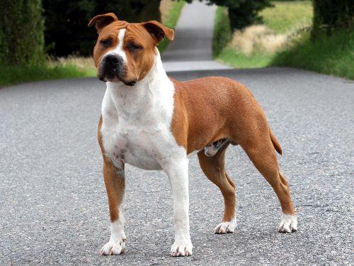 Самые популярные породы собак в России. Американский стаффордширский терьер