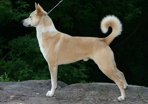 Самые редкие породы собак. Ханаанская собака
