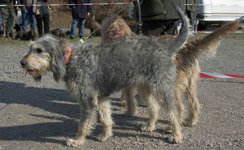 Самые редкие породы собак. Нивернезский гриффон