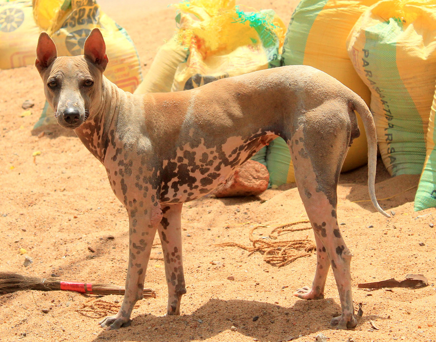 Самые редкие породы собак. Джонанги