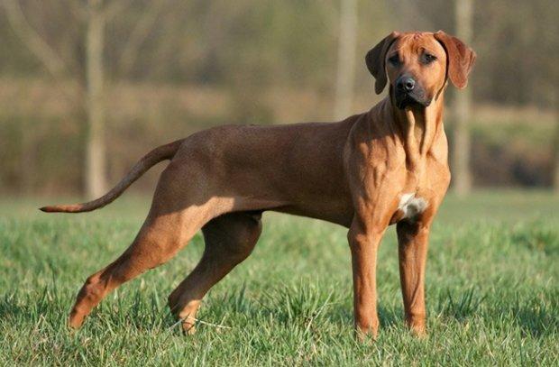 Самые популярные породы собак в России. Родезийский риджбек
