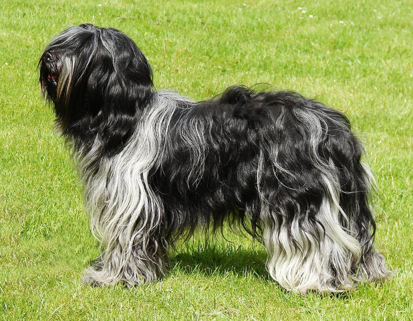 Самые редкие породы собак. Шапендуа