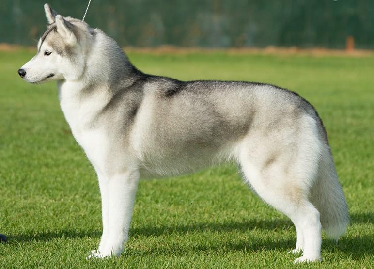 Самые популярные породы собак в России. Сибирский хаски