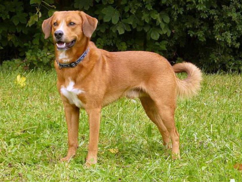 Самые редкие породы собак. Австрийский пинчер