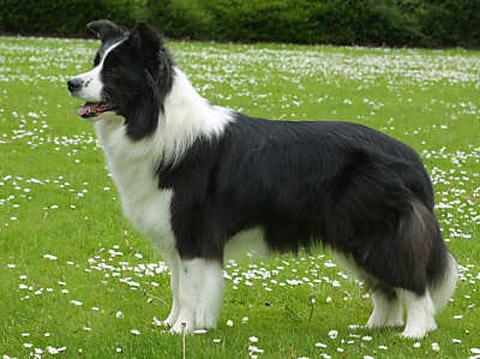 Самые популярные породы собак в мире. Бордер-колли