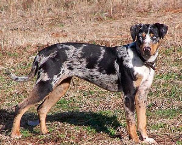 Самые редкие породы  собак. Леопардовая собака катахула