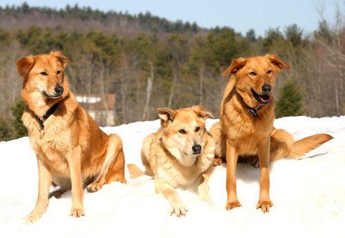 Самые редкие породы собак. Чинук