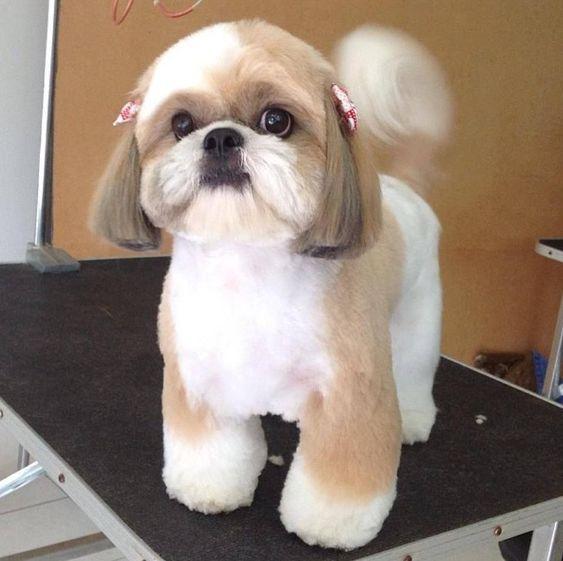 Стрижка Ши-Тцу. Какую стрижку выбрать для вашей собаки?