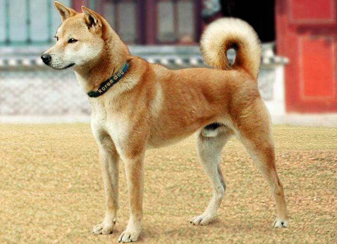 Самые редкие породы собак. Корейская собака джиндо