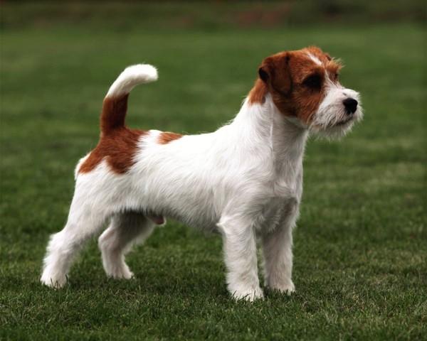 Самые популярные породы собак в мире. Джек рассел терьер