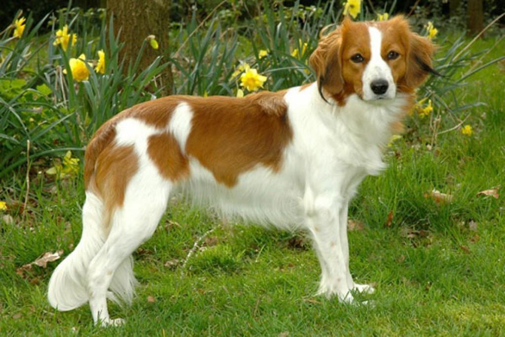 Самые редкие породы собак. Койкерхондье