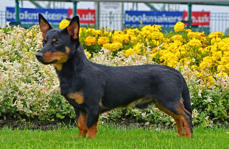 Самые редкие породы собак. Ланкаширский хилер