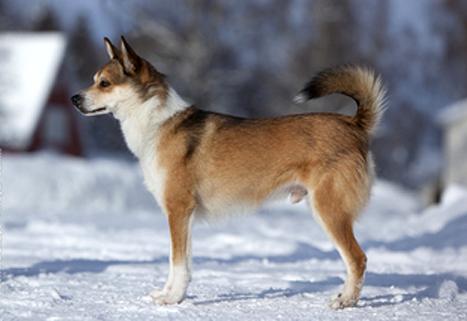 Самые редкие породы собак, Норвежский лундехунд