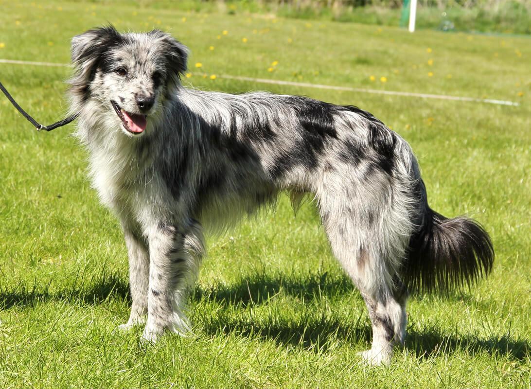 Самые редкие породы собак. Пиренейская овчарка
