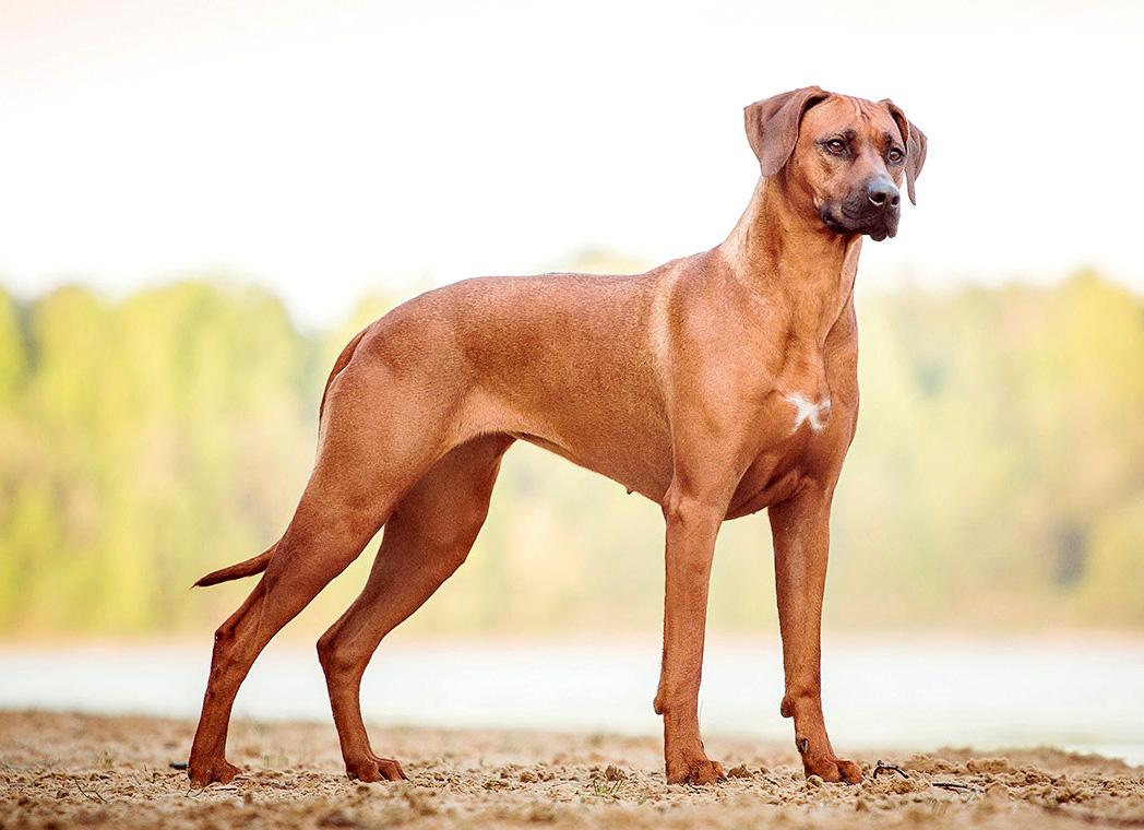 Самые популярные породы собак в мире. Родезийский риджбек