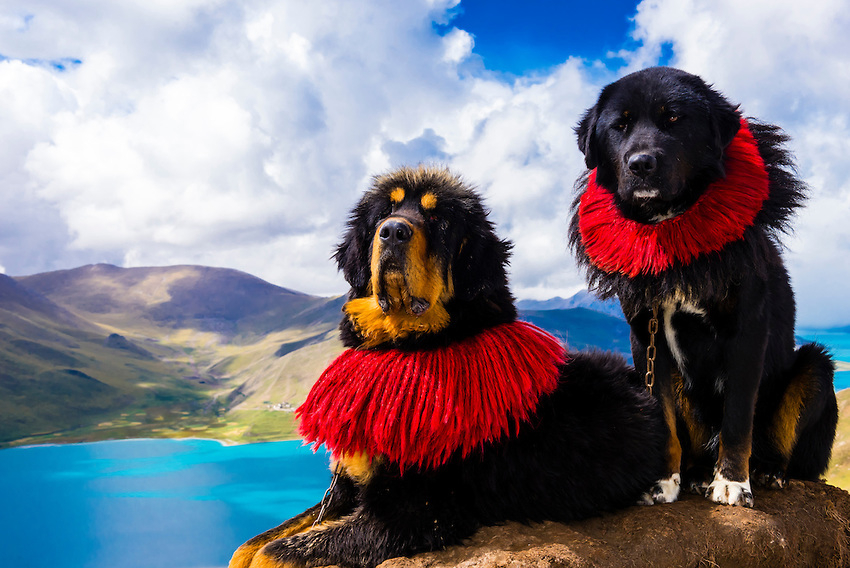 Сходство человека и собаки. Научные исследования. Тибетские мастифы
