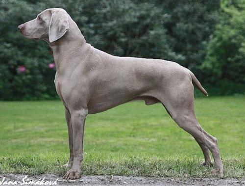 Самые популярные породы собак в России. Веймаранер