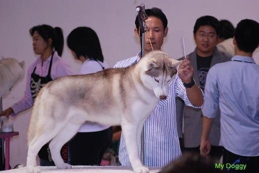 Выставки собак в Таиланде. Выставочный груминг