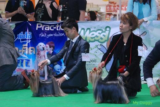 Выставка собак. Таиланд